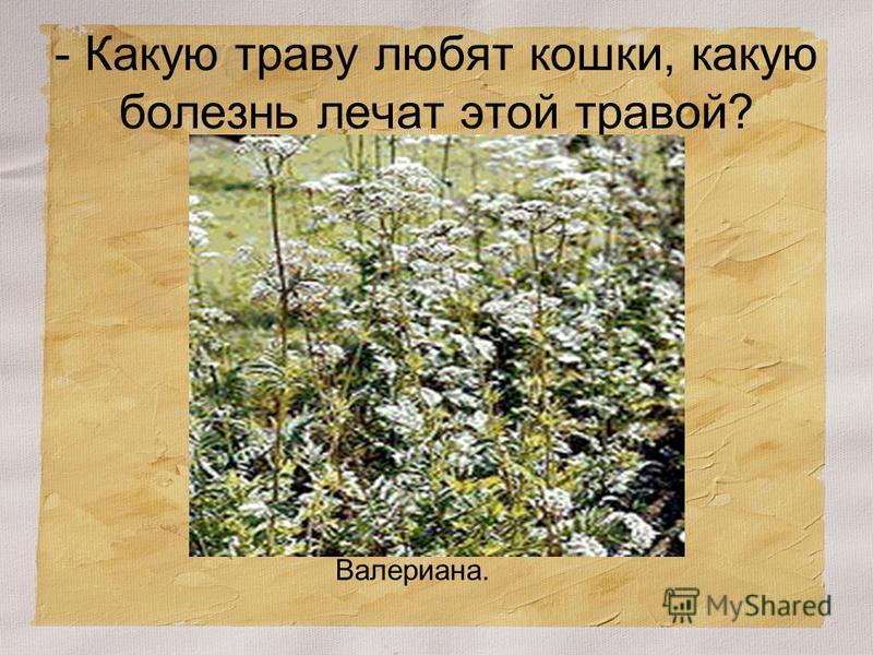 - Какую траву любят кошки, какую болезнь лечат этой травой? Валериана.