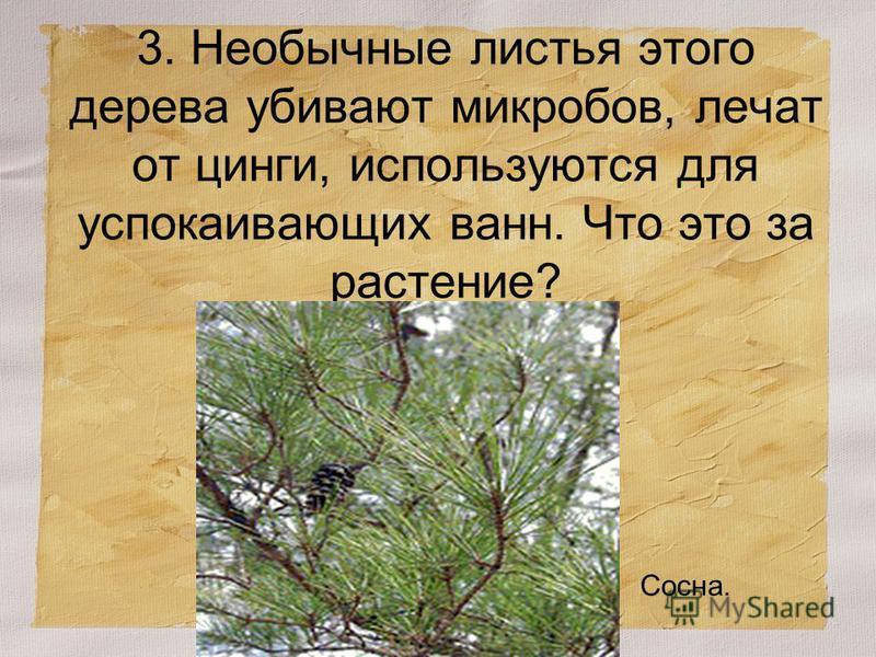 3. Необычные листья этого дерева убивают микробов, лечат от цинги, используются для успокаивающих ванн. Что это за растение? Сосна.