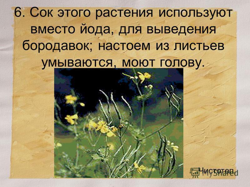 6. Сок этого растения используют вместо йода, для выведения бородавок; настоем из листьев умываются, моют голову. Чистотел.