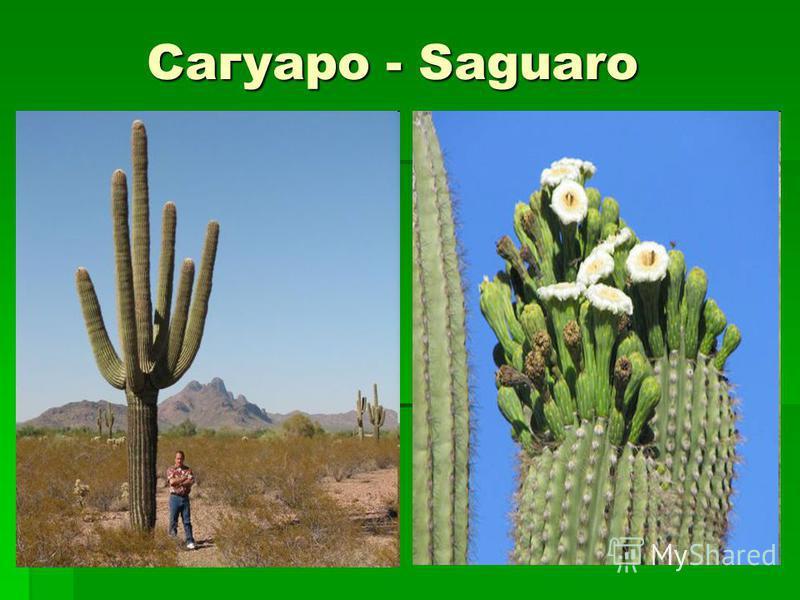 Сагуаро - Saguaro Сагуаро - Saguaro