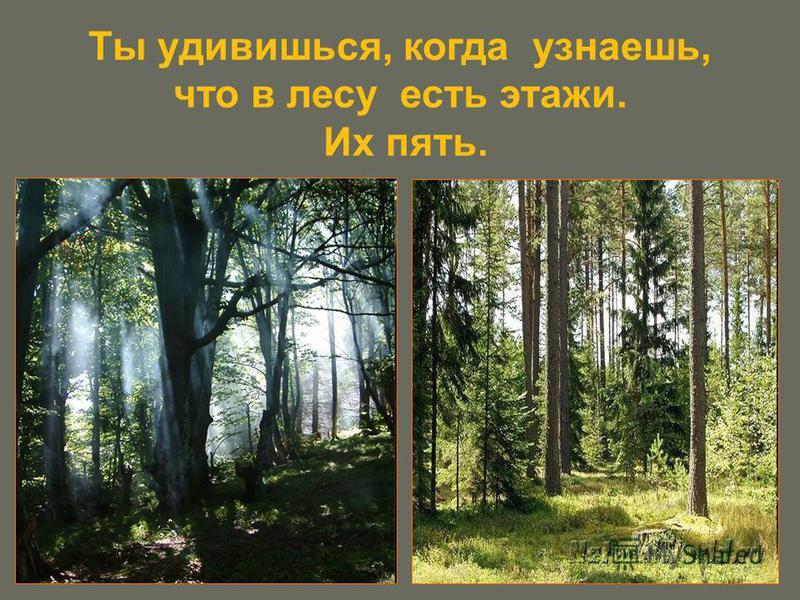 Ты удивишься, когда узнаешь, что в лесу есть этажи. Их пять.