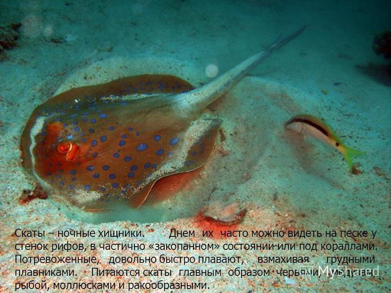 Скаты – ночные хищники. Днем их часто можно видеть на песке у стенок рифов, в частично «закопанном» состоянии или под кораллами. Потревоженные, довольно быстро плавают, взмахивая грудными плавниками. Питаются скаты главным образом червями, медузам, р