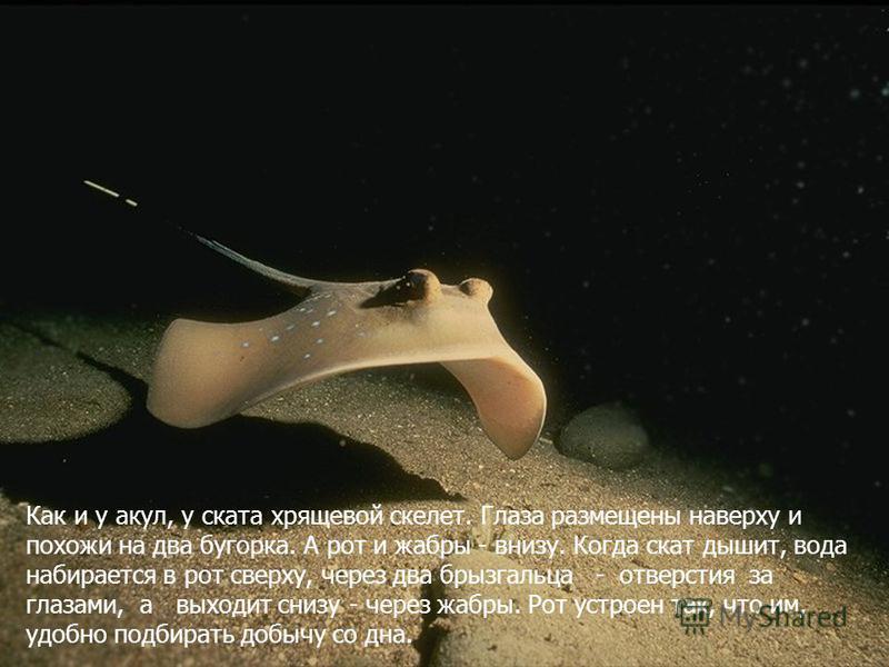 Как и у акул, у ската хрящевой скелет. Глаза размещены наверху и похожи на два бугорка. А рот и жабры - внизу. Когда скат дышит, вода набирается в рот сверху, через два брызгальца - отверстия за глазами, а выходит снизу - через жабры. Рот устроен так