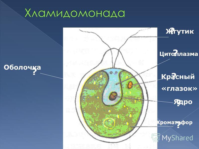 ? ? ? ? ? ? Оболочка Жгутик Цитоплазма Красный «глазок» Ядро Хроматофор