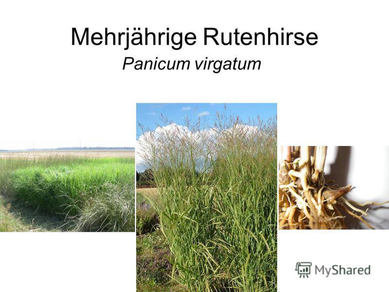 Mehrjährige Rutenhirse Panicum virgatum