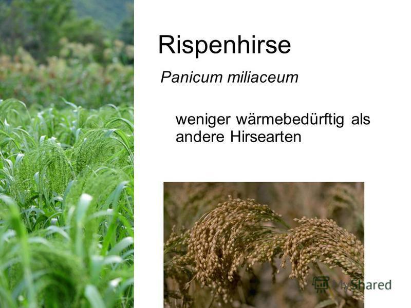Rispenhirse Panicum miliaceum weniger wärmebedürftig als andere Hirsearten