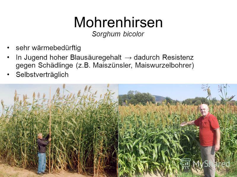 Mohrenhirsen Sorghum bicolor sehr wärmebedürftig In Jugend hoher Blausäuregehalt dadurch Resistenz gegen Schädlinge (z.B. Maiszünsler, Maiswurzelbohrer) Selbstverträglich