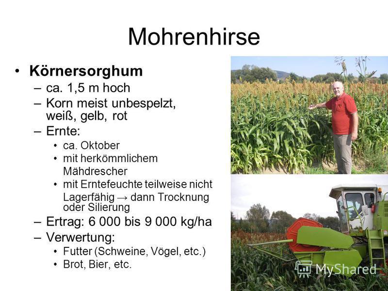 Mohrenhirse Körnersorghum –ca. 1,5 m hoch –Korn meist unbespelzt, weiß, gelb, rot –Ernte: ca. Oktober mit herkömmlichem Mähdrescher mit Erntefeuchte teilweise nicht Lagerfähig dann Trocknung oder Silierung –Ertrag: 6 000 bis 9 000 kg/ha –Verwertung: