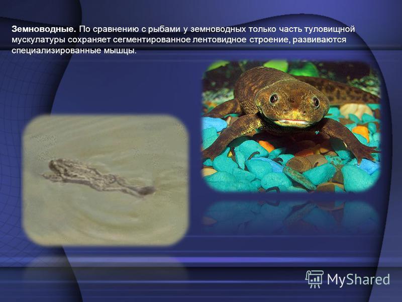 Земноводные. По сравнению с рыбами у земноводных только часть туловищной мускулатуры сохраняет сегментированное лентовидное строение, развиваются специализированные мышцы.