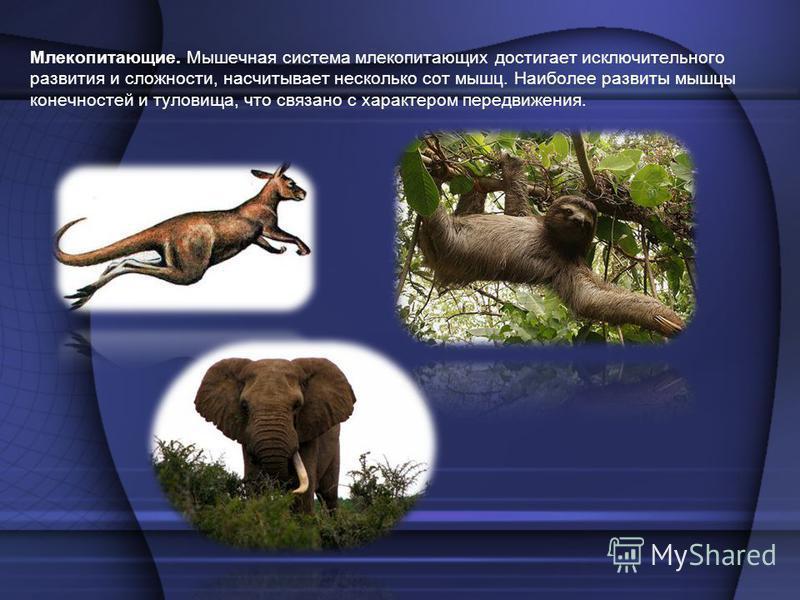 Млекопитающие. Мышечная система млекопитающих достигает исключительного развития и сложности, насчитывает несколько сот мышц. Наиболее развиты мышцы конечностей и туловища, что связано с характером передвижения.