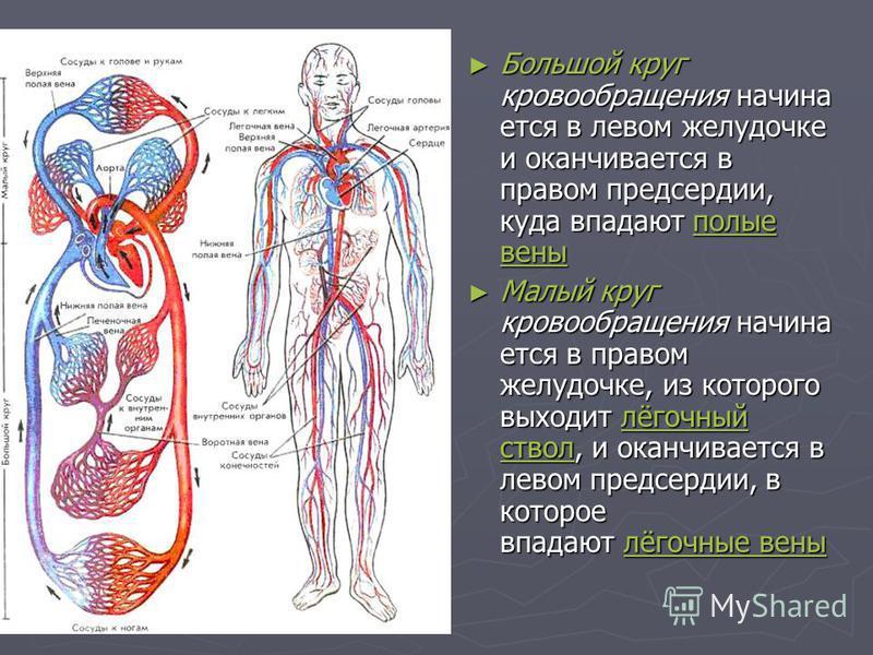 Большой круг кровообращения начинается в левом желудочке и оканчивается в правом предсердии, куда впадают полые вены Большой круг кровообращения начинается в левом желудочке и оканчивается в правом предсердии, куда впадают полые вены полые вены полые