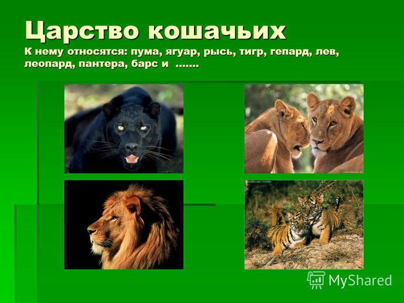 Царство кошачьих К нему относятся: пума, ягуар, рысь, тигр, гепард, лев, леопард, пантера, барс и …….