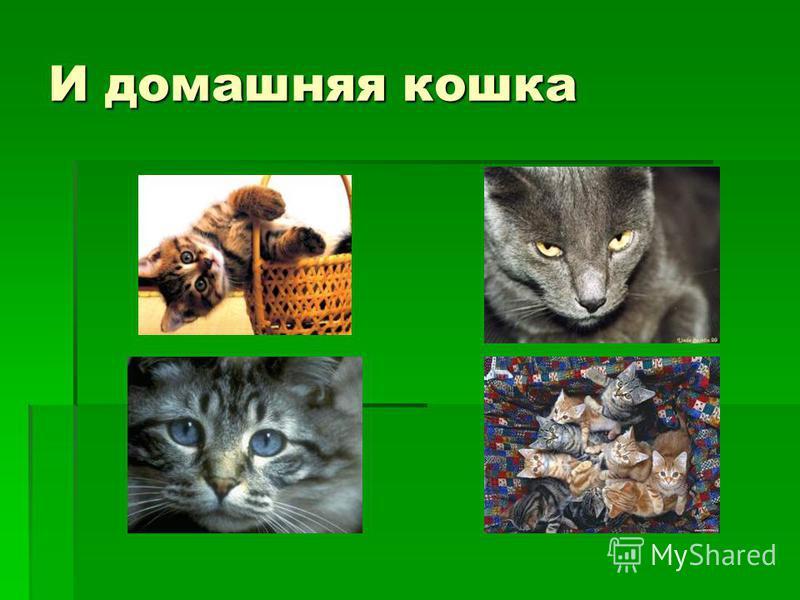 И домашняя кошка