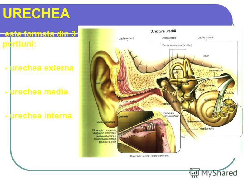 URECHEA - este formata din 3 portiuni: - urechea externa - urechea medie - urechea interna