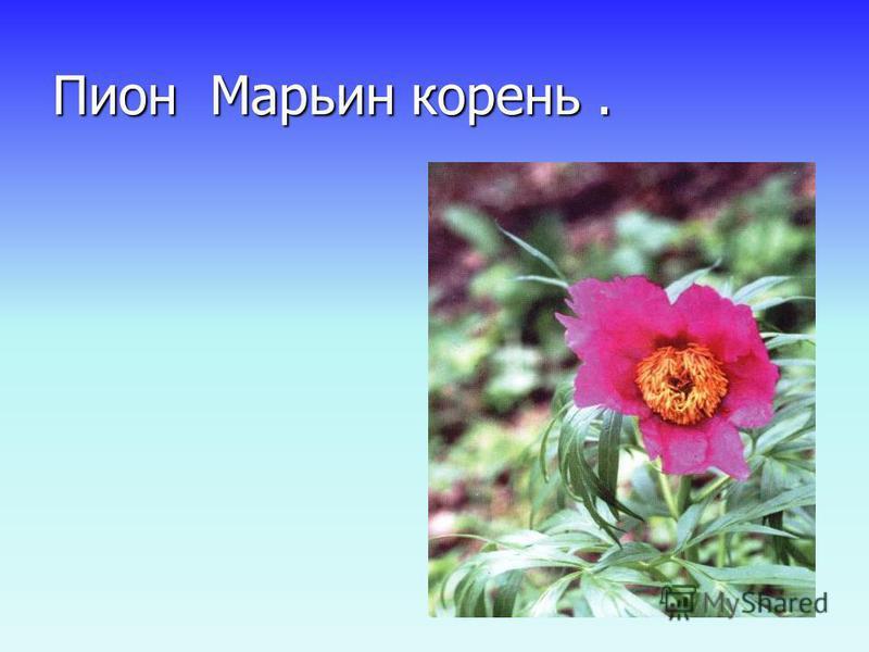 Пион Марьин корень.