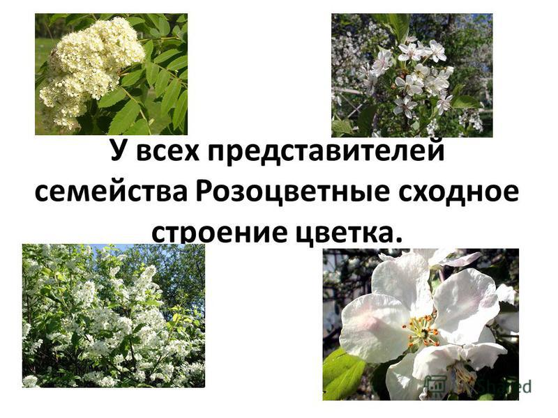У всех представителей семейства Розоцветные сходное строение цветка.