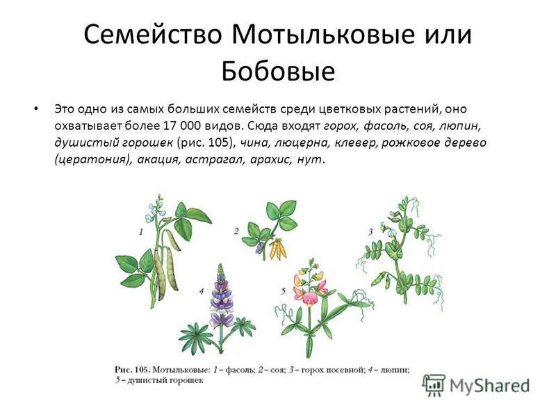Семейство Мотыльковые или Бобовые Это одно из самых больших семейств среди цветковых растений, оно охватывает более 17 000 видов. Сюда входят горох, фасоль, соя, люпин, душистый горошек (рис. 105), чина, люцерна, клевер, рожковое дерево (цератония),