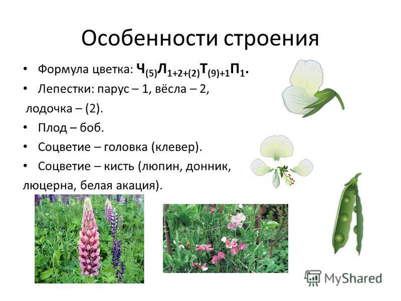 Особенности строения Формула цветка: Ч (5) Л 1+2+(2) Т (9)+1 П 1. Лепестки: парус – 1, вёсла – 2, лодочка – (2). Плод – боб. Соцветие – головка (клевер). Соцветие – кисть (люпин, донник, люцерна, белая акация).