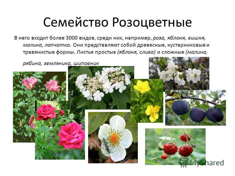 Семейство Розоцветные В него входит более 3000 видов, среди них, например, роза, яблоня, вишня, малина, лапчатка. Они представляют собой древесные, кустарниковые и травянистые формы. Листья простые (яблоня, слива) и сложные (малина, рябина, земляника