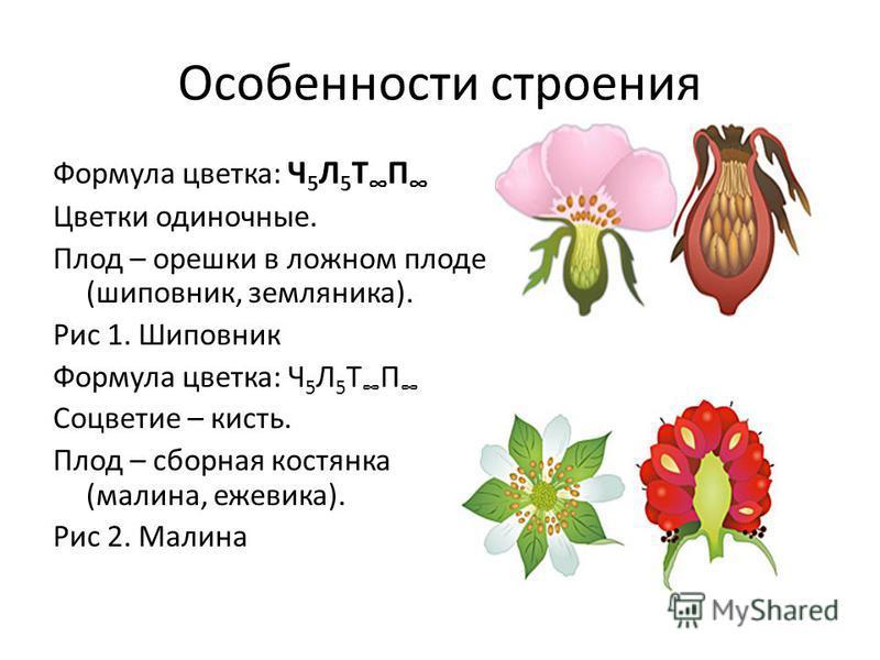 Особенности строения Формула цветка: Ч 5 Л 5 Т П Цветки одиночные. Плод – орешки в ложном плоде (шиповник, земляника). Рис 1. Шиповник Формула цветка: Ч 5 Л 5 Т П Соцветие – кисть. Плод – сборная костянка (малина, ежевика). Рис 2. Малина