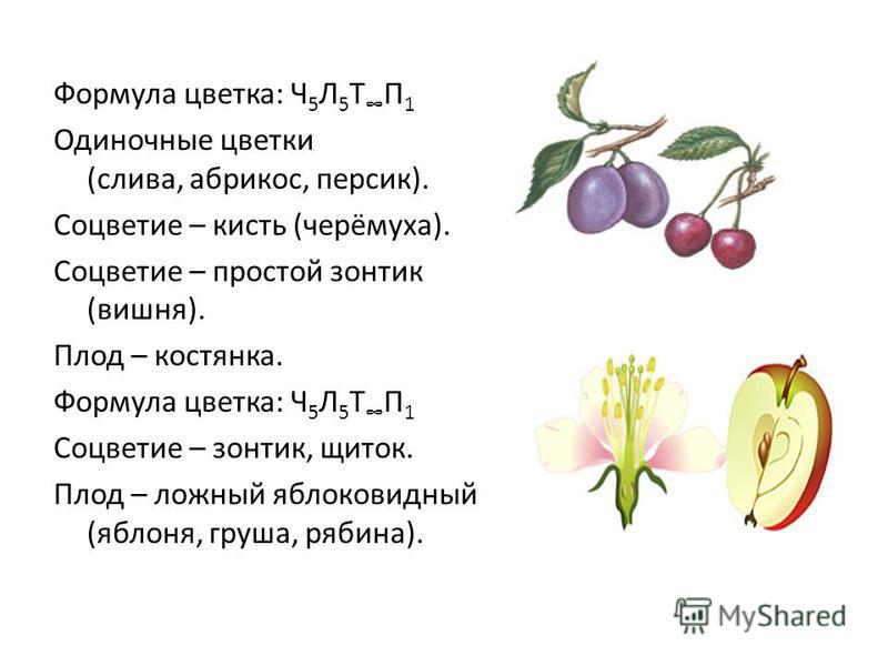 Формула цветка: Ч 5 Л 5 Т П 1 Одиночные цветки (слива, абрикос, персик). Соцветие – кисть (черёмуха). Соцветие – простой зонтик (вишня). Плод – костянка. Формула цветка: Ч 5 Л 5 Т П 1 Соцветие – зонтик, щиток. Плод – ложный яблоковидный (яблоня, груш
