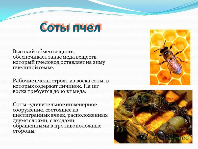 Соты пчел 1. Высокий обмен веществ, обеспечивает запас меда веществ, который пчеловод оставляет на зиму пчелиной семье. 2. Рабочие пчелы строят из воска соты, в которых содержат личинок. На 1 кг воска требуется до 10 кг меда. 3. Соты –удивительное ин