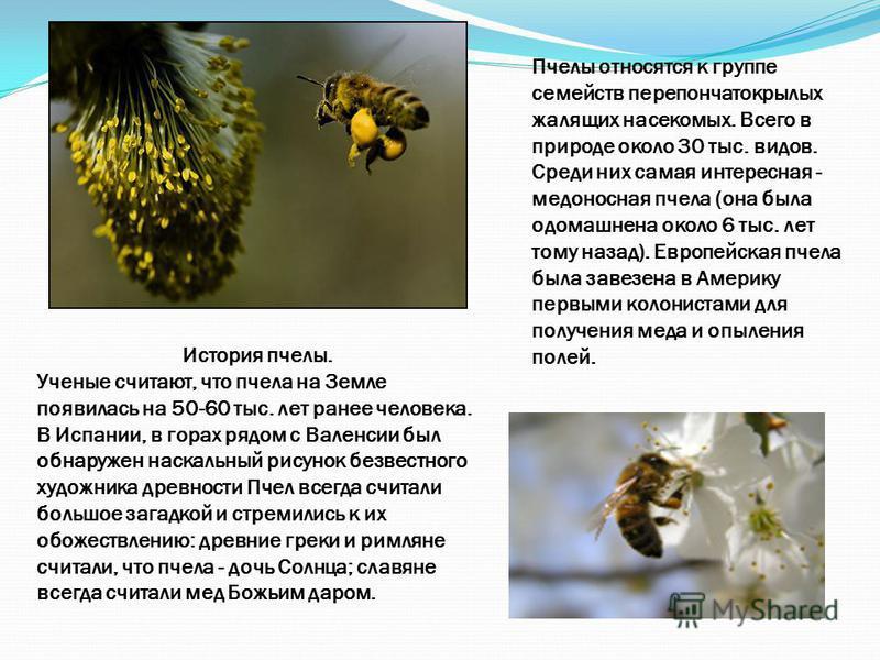 История пчелы. Ученые считают, что пчела на Земле появилась на 50-60 тыс. лет ранее человека. В Испании, в горах рядом с Валенсии был обнаружен наскальный рисунок безвестного художника древности Пчел всегда считали большое загадкой и стремились к их
