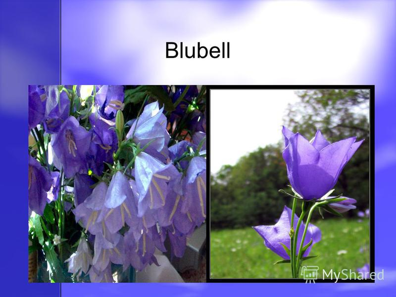 Blubell