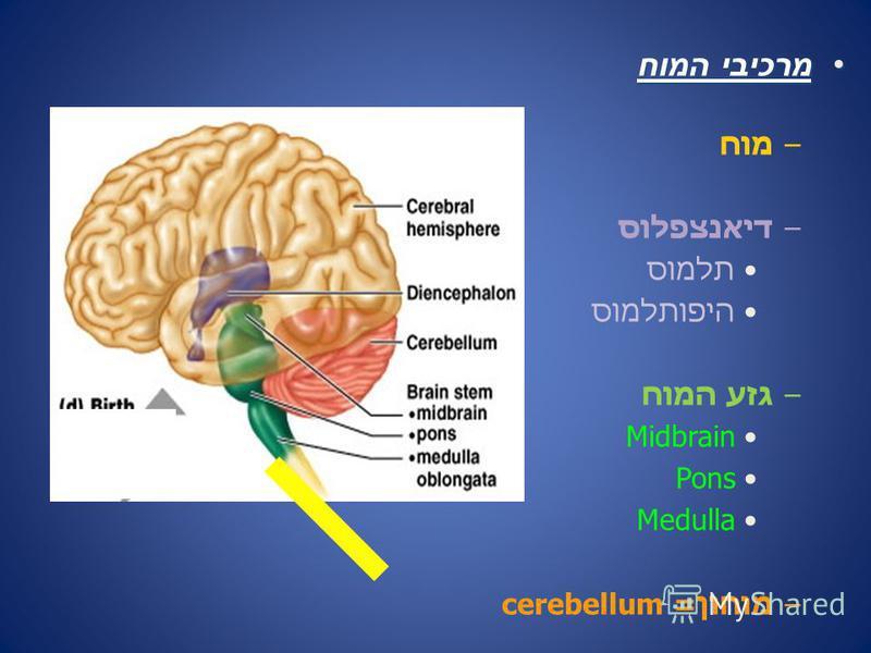 מרכיבי המוחמרכיבי המוח –מוח –דיאנצפלוס תלמוס היפותלמוס –גזע המוח Midbrain Pons Medulla –מוחון= cerebellum