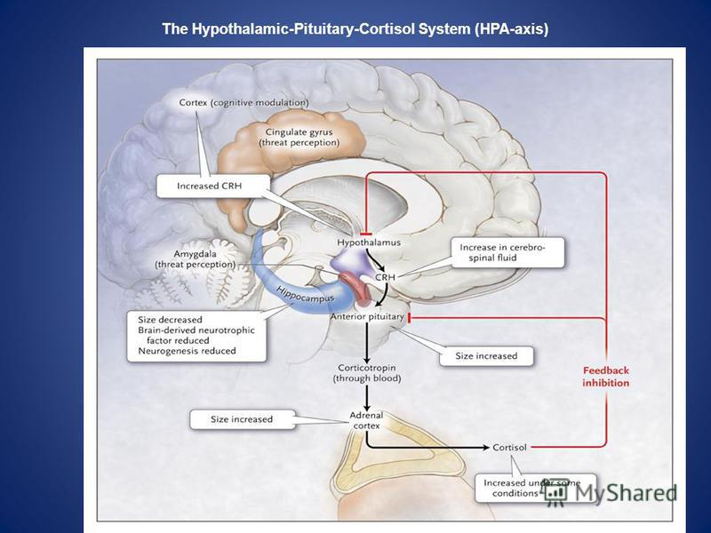 The Hypothalamic-Pituitary-Cortisol System (HPA-axis)