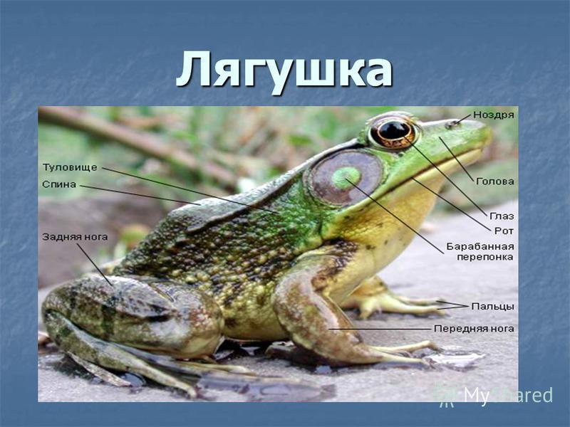 Земноводные Живущие двойной жизнью на суше, и в воде