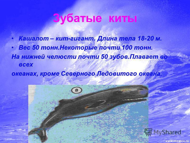 Зубатые киты Кашалот – кит-гигант. Длина тела 18-20 м. Вес 50 тонн.Некоторые почти 100 тонн. На нижней челюсти почти 50 зубов.Плавает во всех океанах, кроме Северного Ледовитого океана.