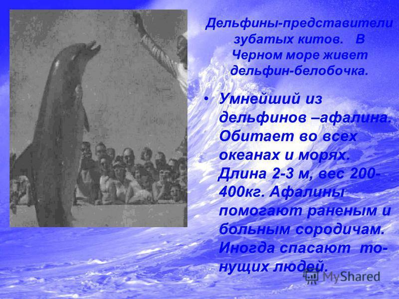 Дельфины-представители зубатых китов. В Черном море живет дельфин-белобочка. Умнейший из дельфинов –афалина. Обитает во всех океанах и морях. Длина 2-3 м, вес 200- 400 кг. Афалины помогают раненым и больным сородичам. Иногда спасают тонущих людей.