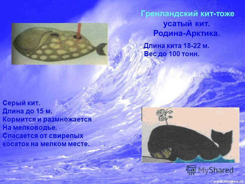 Гренландский кит-тоже усатый кит. Родина-Арктика. Длина кита 18-22 м. Вес до 100 тонн. Серый кит. Длина до 15 м. Кормится и размножается На мелководье. Спасается от свирепых косаток на мелком месте.