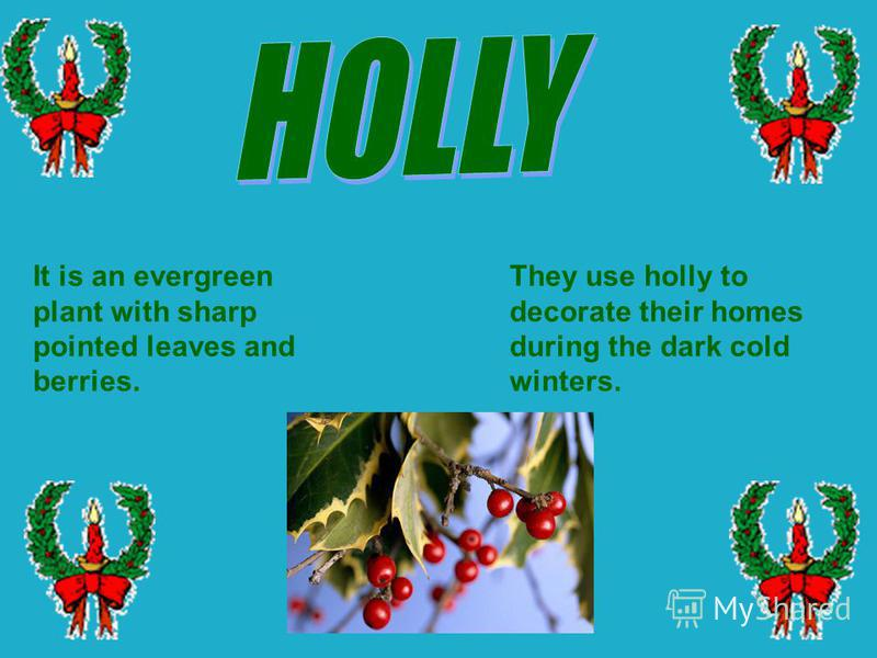 They use holly to decorate their homes during the dark cold winters. It is an evergreen plant with sharp pointed leaves and berries.