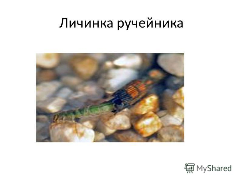 Личинка ручейника