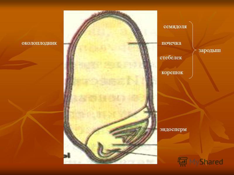 эндосперм околоплодник семядоля почечка стебелек корешок зародыш