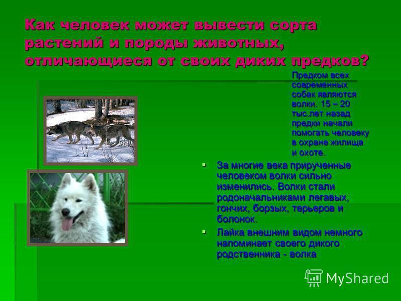 Как человек может вывести сорта растений и породы животных, отличающиеся от своих диких предков? Предком всех современных собак являются волки. 15 – 20 тыс.лет назад предки начали помогать человеку в охране жилища и охоте. За многие века прирученные