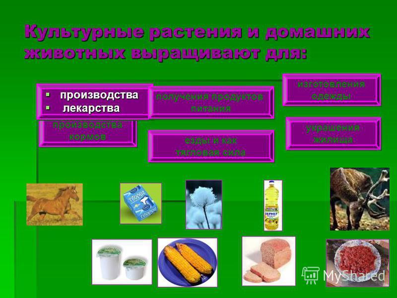 Культурные растения и домашних животных выращивают для: производства кормов производства кормов производства производства лекарства лекарства производства производства лекарства лекарства получения продуктов питания получения продуктов питания езды и