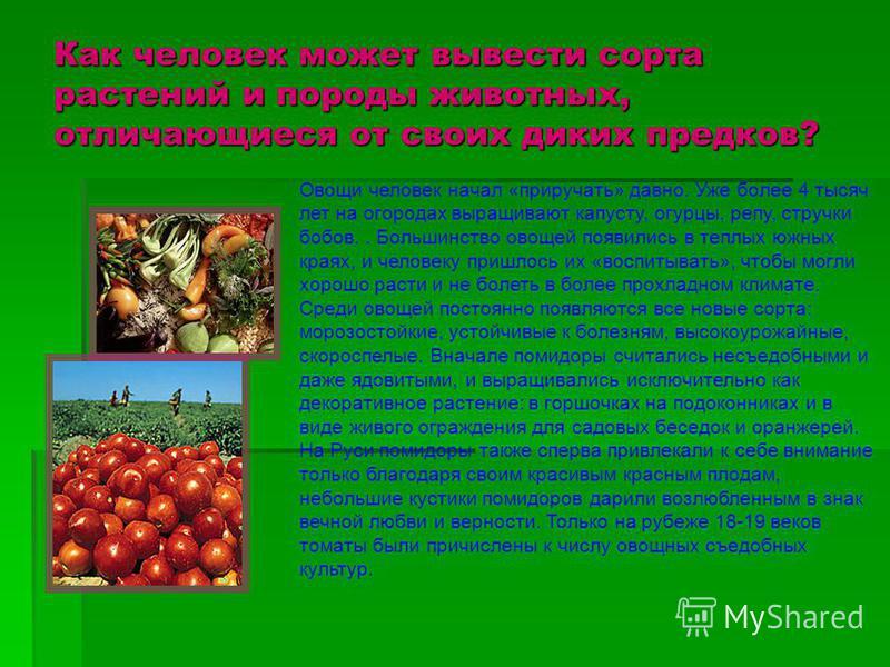 Как человек может вывести сорта растений и породы животных, отличающиеся от своих диких предков? Овощи человек начал «приручать» давно. Уже более 4 тысяч лет на огородах выращивают капусту, огурцы, репу, стручки бобов.. Большинство овощей появились в