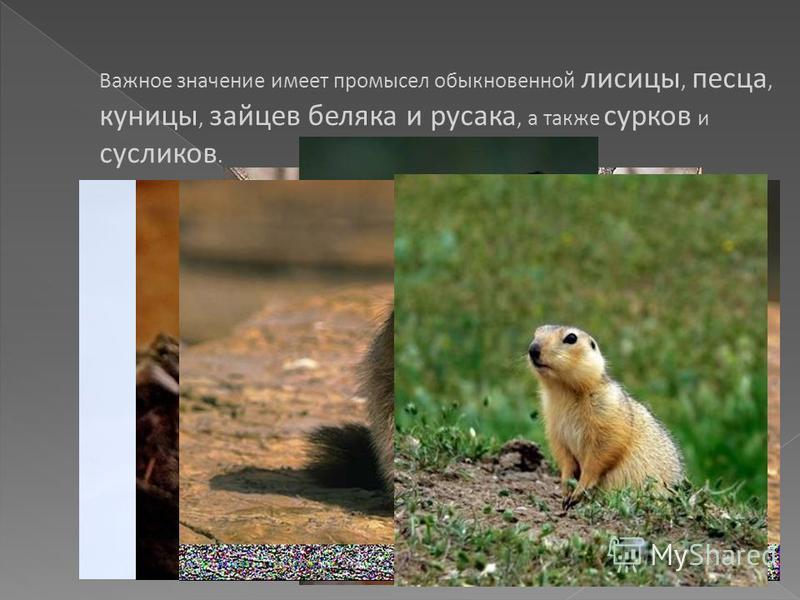 Важное значение имеет промысел обыкновенной лисицы, песца, куницы, зайцев беляка и русака, а также сурков и сусликов. Песец Куница