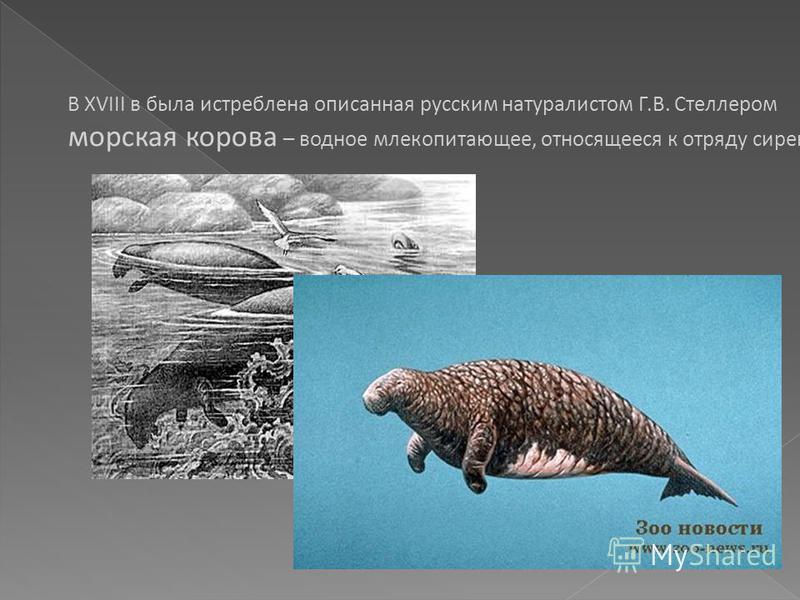 В XVIII в была истреблена описанная русским натуралистом Г.В. Стеллером морская корова – водное млекопитающее, относящееся к отряду сирен.