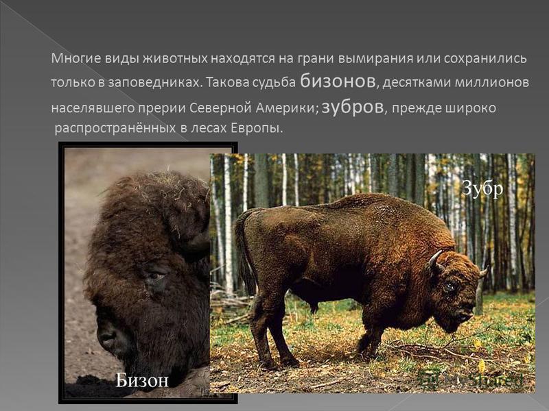 Многие виды животных находятся на грани вымирания или сохранились только в заповедниках. Такова судьба бизонов, десятками миллионов населявшего прерии Северной Америки; зубров, прежде широко распространённых в лесах Европы. Бизон Зубр