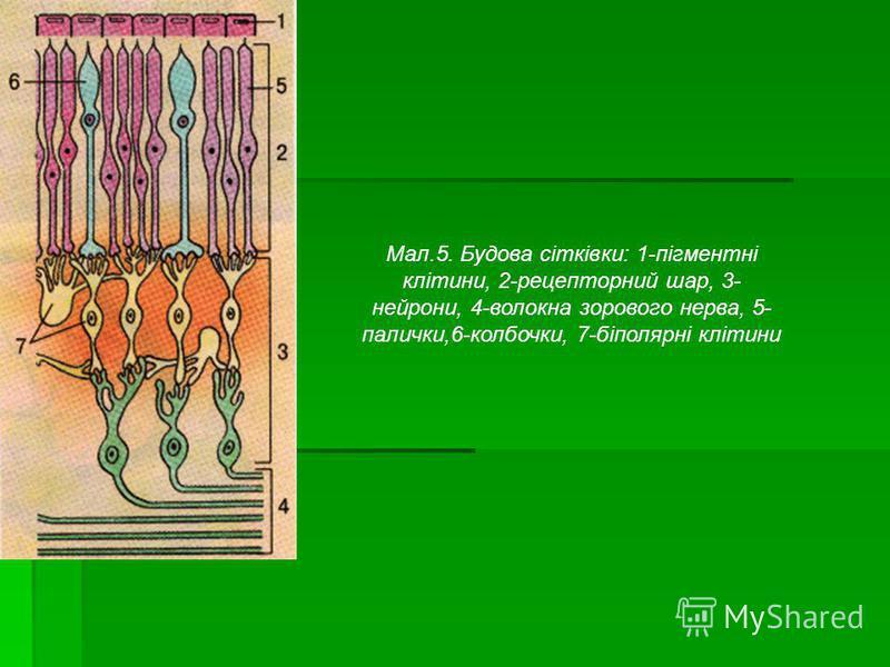Мал.5. Будова сітківки: 1-пігментні клітини, 2-рецепторний шар, 3- нейрони, 4-волокна зорового нерва, 5- палички,6-колбочки, 7-біполярні клітини