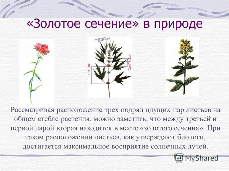 «Золотое сечение» в природе Рассматривая расположение трех подряд идущих пар листьев на общем стебле растения, можно заметить, что между третьей и первой парой вторая находится в месте «золотого сечения». При таком расположении листьев, как утверждаю