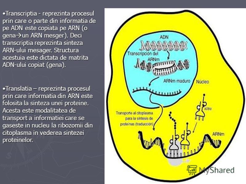 Transcriptia - reprezinta procesul prin care o parte din informatia de pe ADN este copiata pe ARN (o gena un ARN mesger). Deci transcriptia reprezinta sinteza ARN-ului mesager. Structura acestuia este dictata de matrita ADN-ului copiat (gena).Transcr