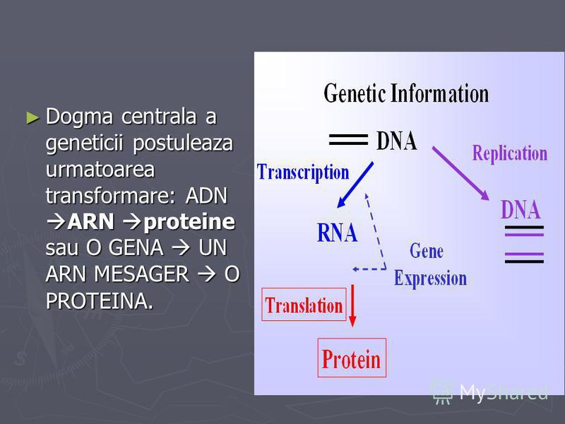 Dogma centrala a geneticii postuleaza urmatoarea transformare: ADN ARN proteine sau O GENA UN ARN MESAGER O PROTEINA. Dogma centrala a geneticii postuleaza urmatoarea transformare: ADN ARN proteine sau O GENA UN ARN MESAGER O PROTEINA.