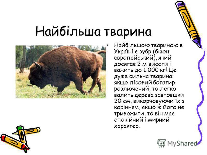 Найбільша тварина Найбільшою твариною в Україні є зубр (бізон європейський), який досягає 2 м висоти і важить до 1 000 кг! Це дуже сильна тварина: якщо лісовий богатир розлючений, то легко валить дерева завтовшки 20 см, викорчовуючи їх з корінням, як