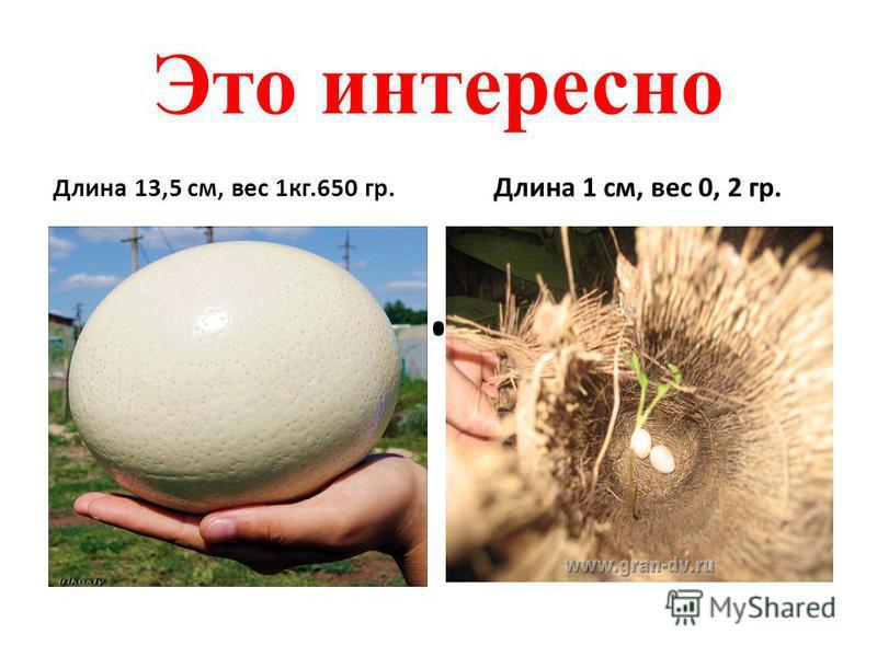 Это интересно Длина 13,5 см, вес 1 кг.650 гр. Длина 1 см, вес 0, 2 гр.