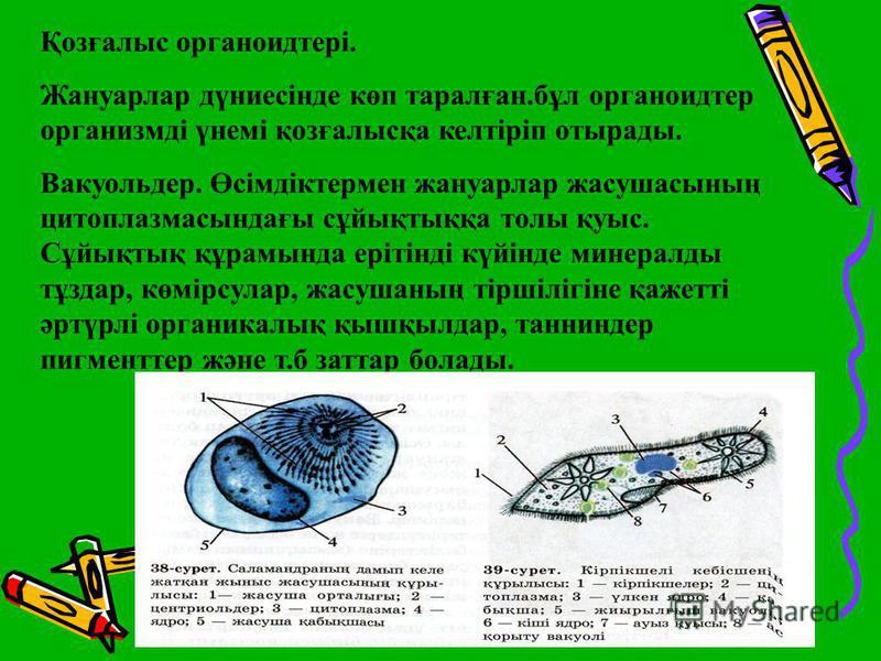 Қозғалыс органоидтері. Жануарлар дүниесінде көп таралған.бұл органоидтер организмді үнемі қозғалысқа келтіріп отырады. Вакуольдер. Өсімдіктермен жануарлар жасушасының цитоплазмасындағы сұйықтыққа толы қуыс. Сұйықтық құрамында ерітінді күйінде минерал
